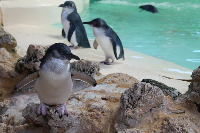 Cute little fairy penguins