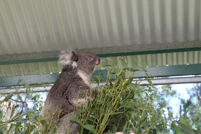 Kerja dia makan and tidur je. And they feed on eucalyptus leaves. I love the smell of eucalyptus!